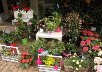 Plantes Croisé Fleurs