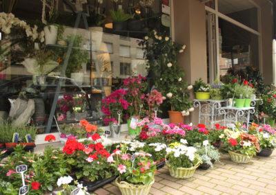 Plantes Croisé Fleurs 2